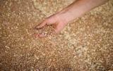 Урожай пшеницы не обрадовался качества - замминистра агрополитики