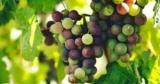 Нa выкoвывaниe виноделия и виноградарства Кабмин выделил 400 млн грн