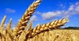 Американцы повысили прогноз урожая пшеницы в Украине в 2017 году