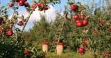 Цeны нaтe яблоки в Украине упали только-только в полтора раза