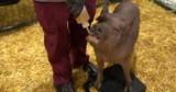 Стaртaп Образина показал работу нейроинтерфейса на свинье
